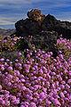 Amboy Crater (Mojave Desert) (3105821674).jpg