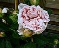 Ambridge Rose - 1.jpg