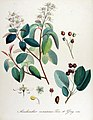 Amelanchier canadensis — Flora Batava — Volume v14.jpg