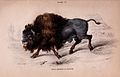 American Bison by James Hope Stewart.jpg