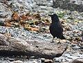 American Crow (45571528842).jpg