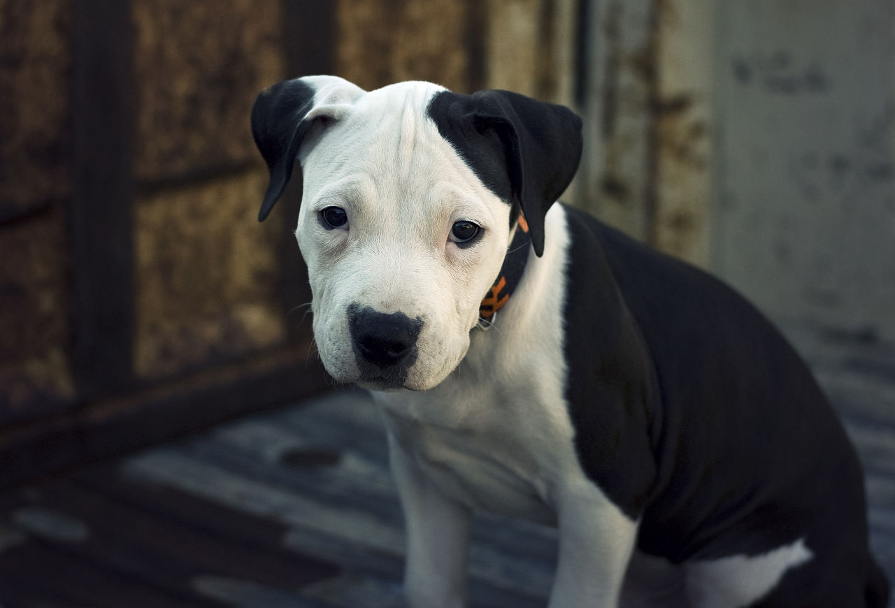 american-pitbull-terrier-puppies