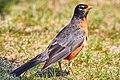 American Robin (207164153).jpeg