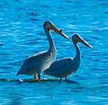 American White Pelicans (Pelecanus erythrorhynchos) (40114278815).jpg