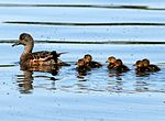 American Wigeon Brood.jpg