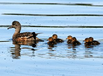 American wigeon - Female and ducklings