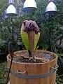 Amorphopallus titanium - Botanic Gardens - Copenhagen Denmark.jpg