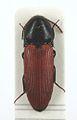 Ampedus praeustus1.jpg