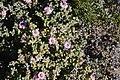 Amphibolia maritima (Aizoaceae) (36725106634).jpg