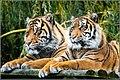 Amur (or Siberian) tigers (Panthera tigris altaica) (48907981646).jpg
