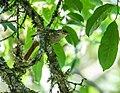 Anabacerthia ruficaudata - Rufous-tailed Foliage-gleaner.jpg