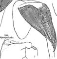 Anatomia Britannica- a system of anatomy Fleuron N001319-27.png