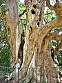 Ancient yew, Crowhurst, Sussex.JPG