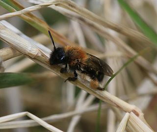 <i>Andrena bicolor</i> species of insect