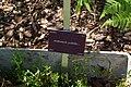 Andromeda polifolia, Conservatoire botanique national de Brest 02.jpg