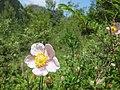 Anemone hupehensis, Jiuzhaigou 3.jpg