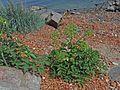 Angelica archangelica ssp. litoralis - Meriputki C IMG 2774.JPG
