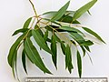 Angophora floribunda - adult leaves 01.jpg