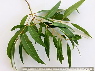Angophora floribunda - Image: Angophora floribunda adult leaves 01