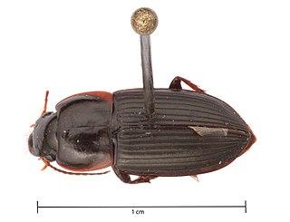 <i>Anisodactylus opaculus</i> Species of beetle