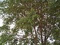 Anogeissus latifolia (YS) (7).jpg