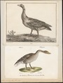 Anser cinereus - 1700-1880 - Print - Iconographia Zoologica - Special Collections University of Amsterdam - UBA01 IZ17600125.tif