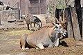 Antílope Eland(Taurotragus oryx)5.jpg