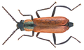 Anthocomus rufus (Herbst, 1784) Syn.- Anthocomus coccineus (Schaller, 1783) male (16381322800).png