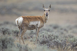 Pronghorn - Adult female pronghorn in Wyoming