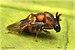 Aperilampus - Photo (c) Bruce Blake, algunos derechos reservados (CC BY-SA)