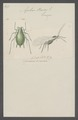 Aphis - Print - Iconographia Zoologica - Special Collections University of Amsterdam - UBAINV0274 042 08 0003.tif