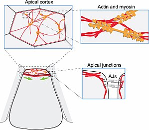 Apical constriction - Apical constriction mechanisms (red: filamentous actin. orange: myosin.)