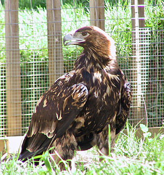 Spanish imperial eagle - Immature