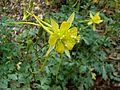 Aquilegia longissima 9354.jpg