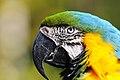 Ara ararauna -Birmingham Zoo -Alabama -head-8a.jpg
