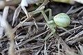 Araignée crabe sp.jpg