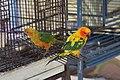 Aratinga solstitialis -Caribbean -captive-8.jpg