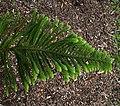 Araucaria araucana in Auckland Botanic Gardens 01.jpg