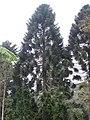 Araucaria bidwillii 02 by Line1.jpg