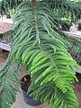 Araucaria heterophylla 11 by Line1.JPG