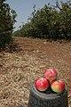 Arbo-pommes (6).JPG