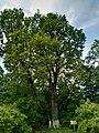 Arborele secular, Parcela 35.jpg