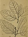 Arboretum et fruticetum Britannicum; or, The trees and shrubs of Britain, native and foreign, hardy and half-hardy, pictorially and botanically delineated, and scientifically and popularly described; (14587344007).jpg