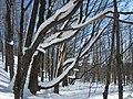 Arbres enneigés - panoramio.jpg