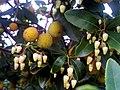 Arbutus unedo Flowers Fruits Closeup DehesaBoyaldePuertollano.jpg