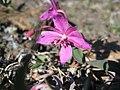Arctic flowers - 14 (7569355784).jpg
