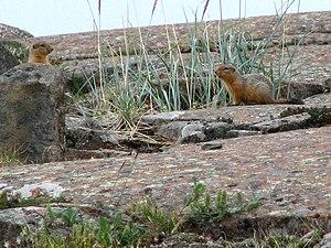 Arctic ground squirrel - On tundra, Kugluktuk, Nunavut
