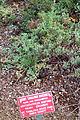 Arctostaphylos hookeri subsp. montana (Arctostaphylos montana) - Regional Parks Botanic Garden, Berkeley, CA - DSC04351.JPG