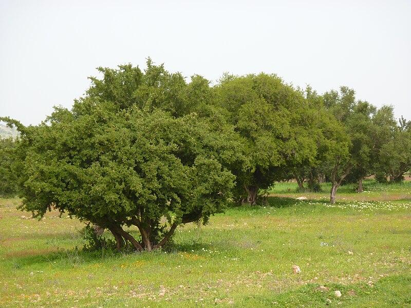 Fichier:Arganier, Essaouira.JPG