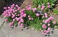 Armeria maritima, Tower Hill Botanic Garden.JPG